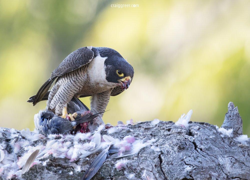 Peregrine-Falcon-prey-Barossa-Valley-26-11-18.jpg