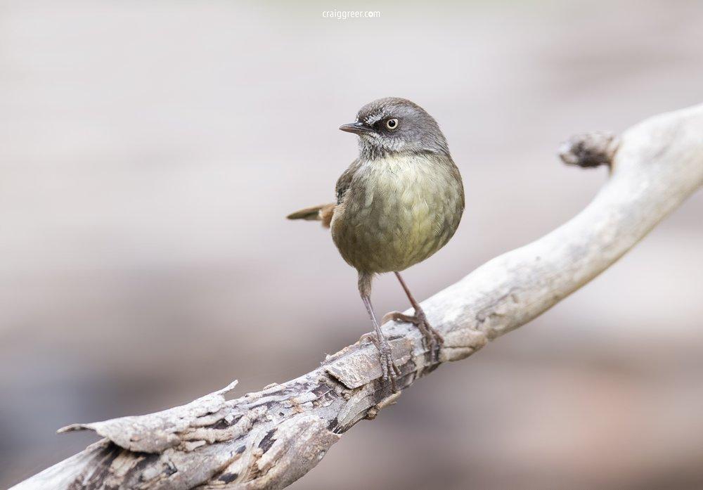 Tasmanian-Scrubwren-Inala-17-11-18.jpg