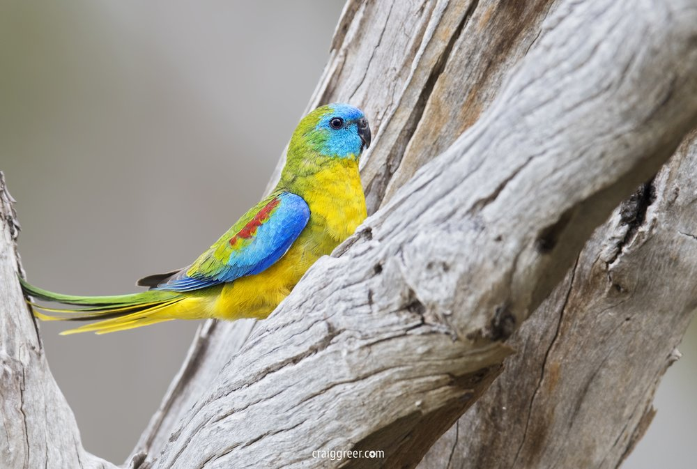 Turquoise-Parrot-male-Warby-Ranges-NP-28-09-18.jpg