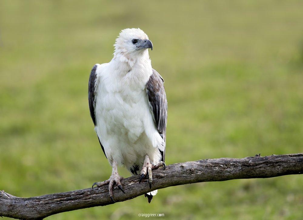 White-bellied-Sea-Eagle-Inala-19-11-18.jpg