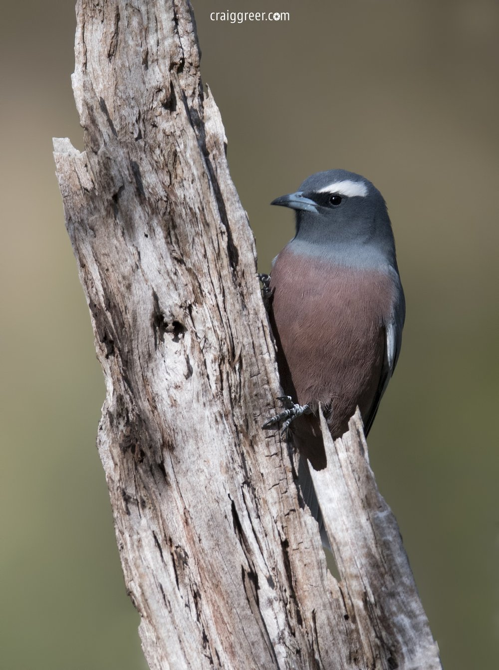 White-browed-Woodswallow-Warby-Ranges-NP-24-09-18.jpg