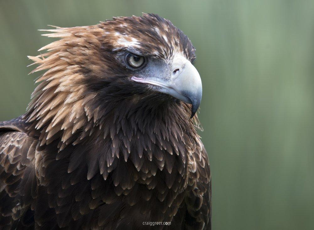 Wedge-tailed-Eagle-Raptor-Domain-KI.jpg