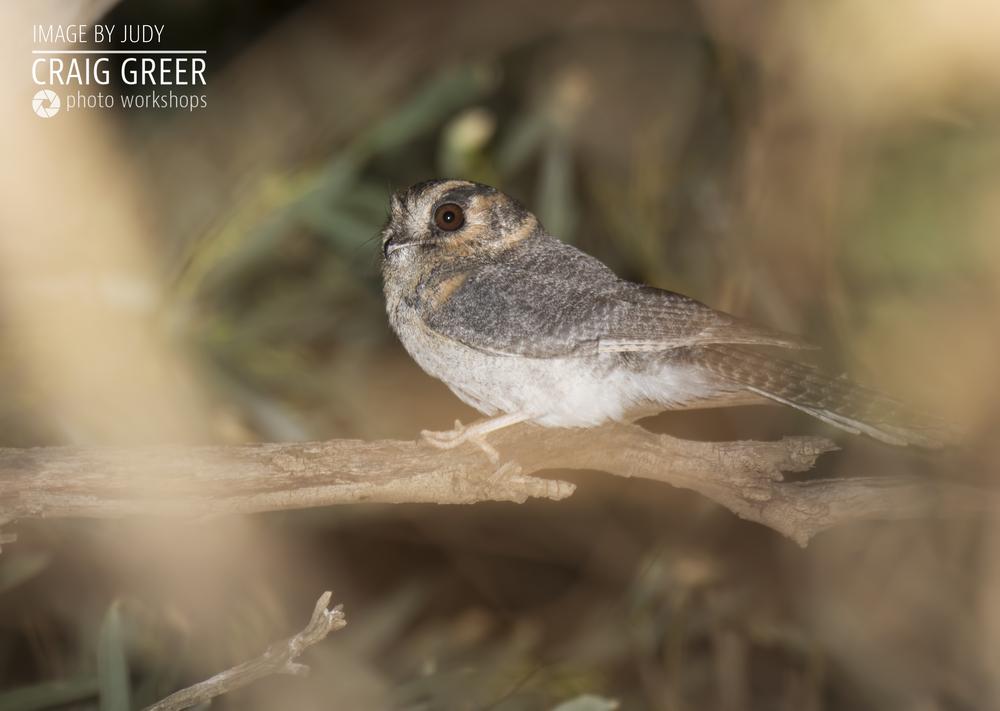 Australian-Owlet-nightjar-JUDY-01-12-18.png