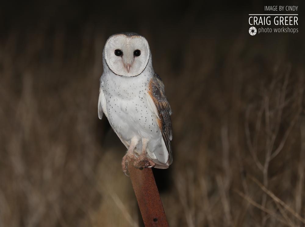 Eastern-Barn-Owl-Cindy-01-12-18.png