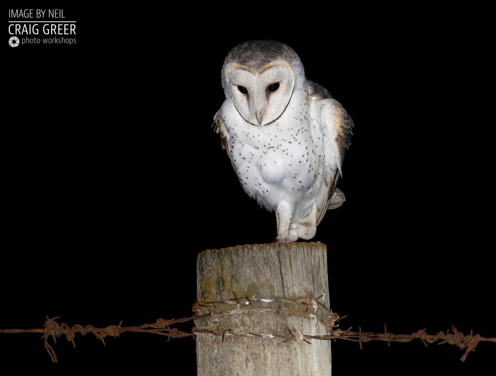 Eastern-Barn-Owl-Neil-05-01-19.png