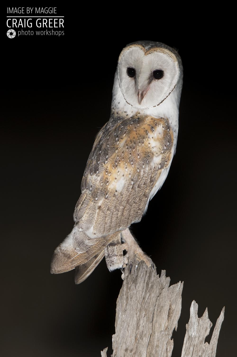 Eastern-Barn-Owl-Tanunda-04-01-19.png