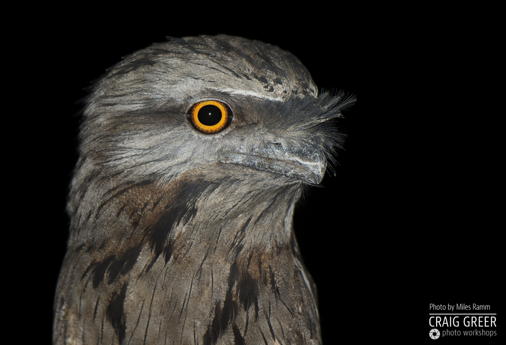 Tawny-Frogmouth-Miles-20-12-18.png
