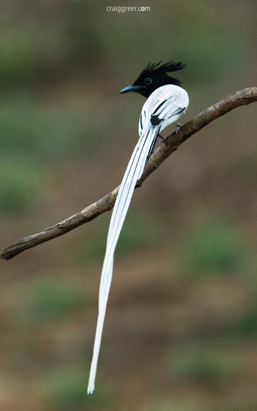 compressedAsian-Paradise-Flycatcher-Wilpattu-NP-25-03-19.jpeg