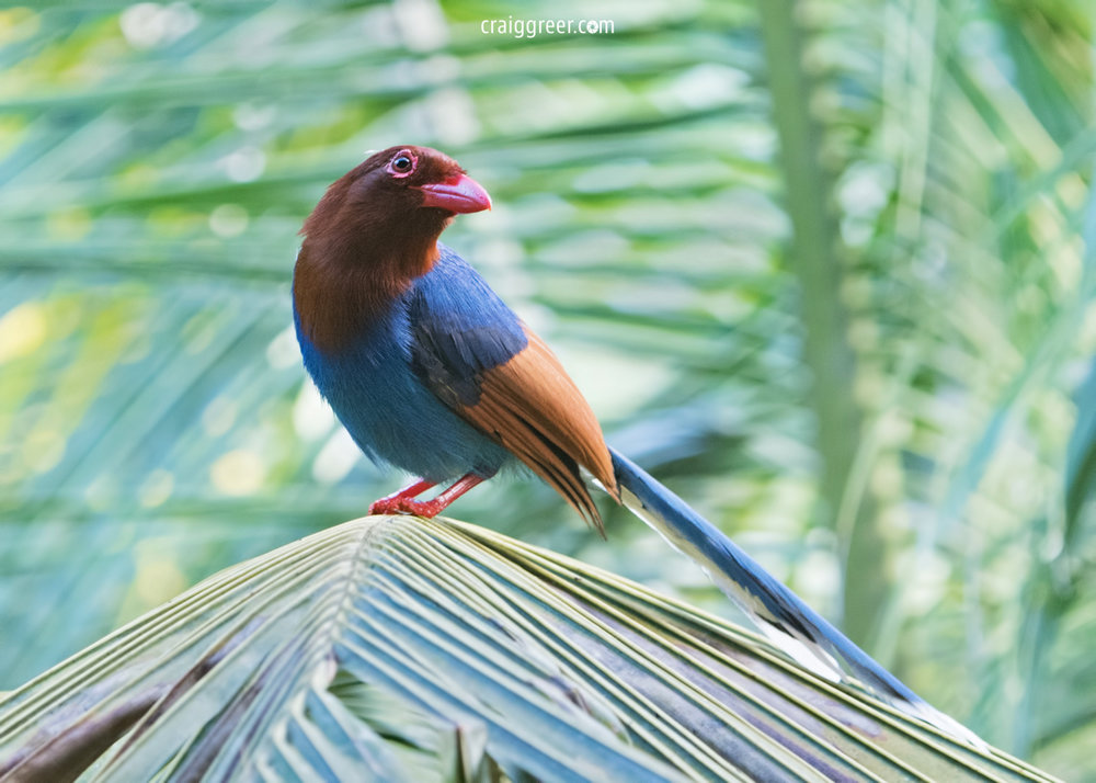 compressedSri-Lanka-Blue-Magpie-2-Sinharaja-Forest-Reserve-21-03-19.jpeg