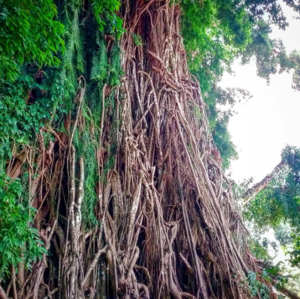 8:00 AM MILLENNIUM BALETE TREE  Photo by @ mrjuanderpalaboy