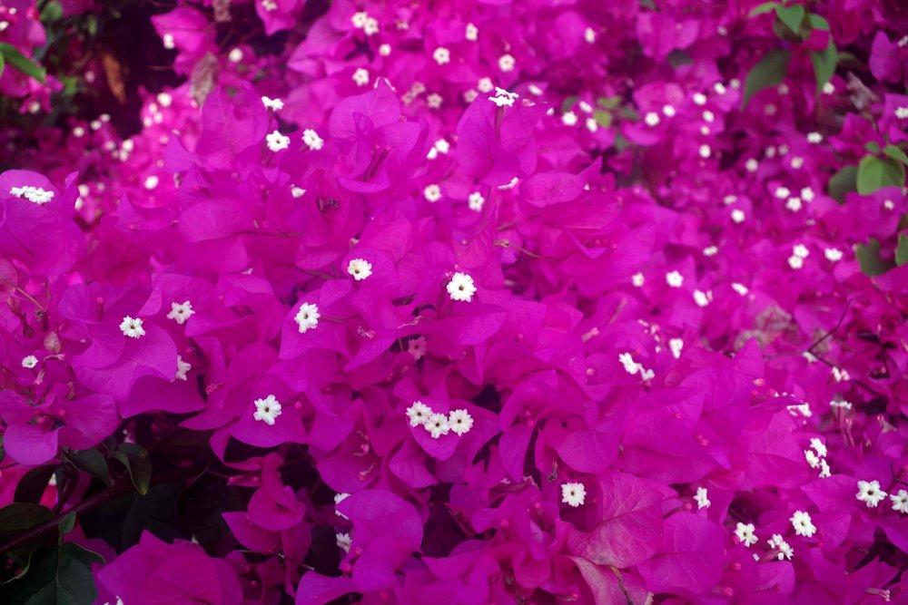 Zanzibar flowers.jpg