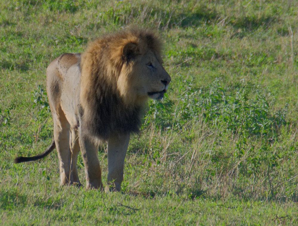 Ngorongoro lion mane.jpg