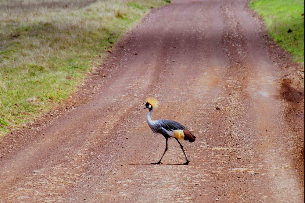 Ngorongoro road crosser.jpg