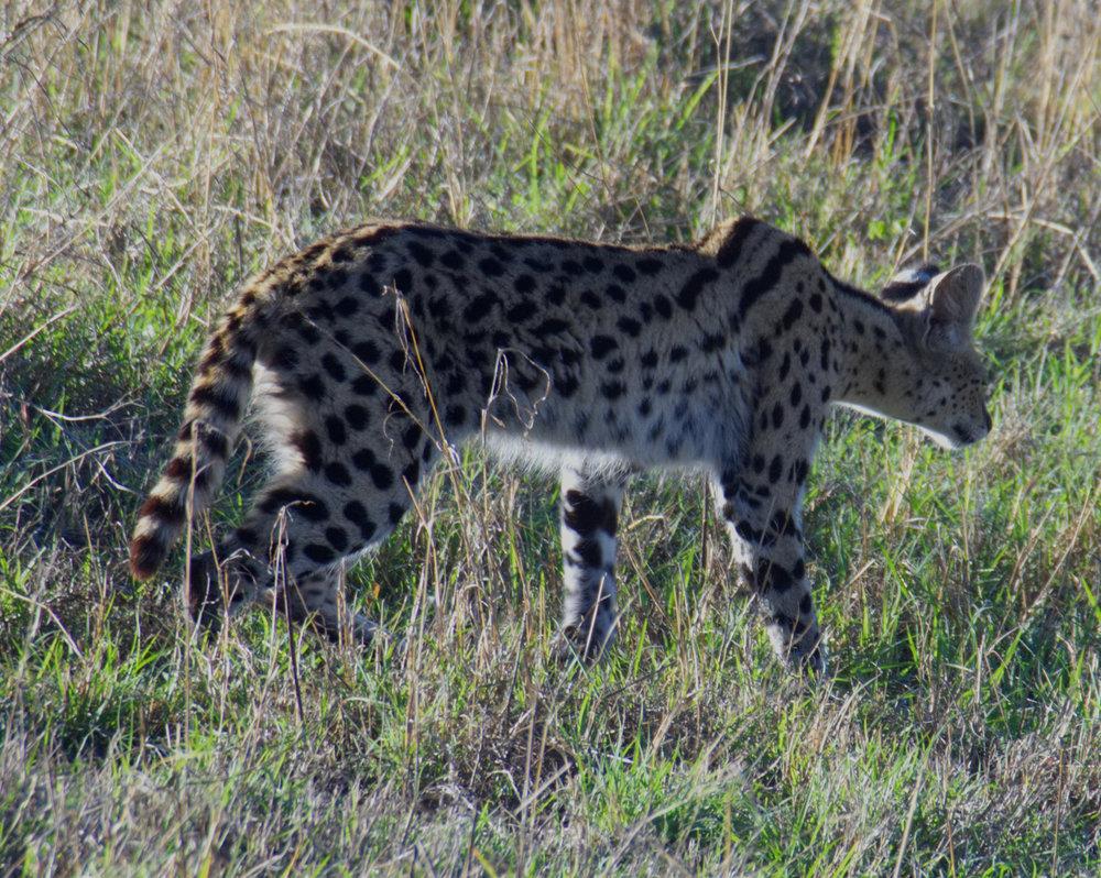 Ngorongoro serval.jpg