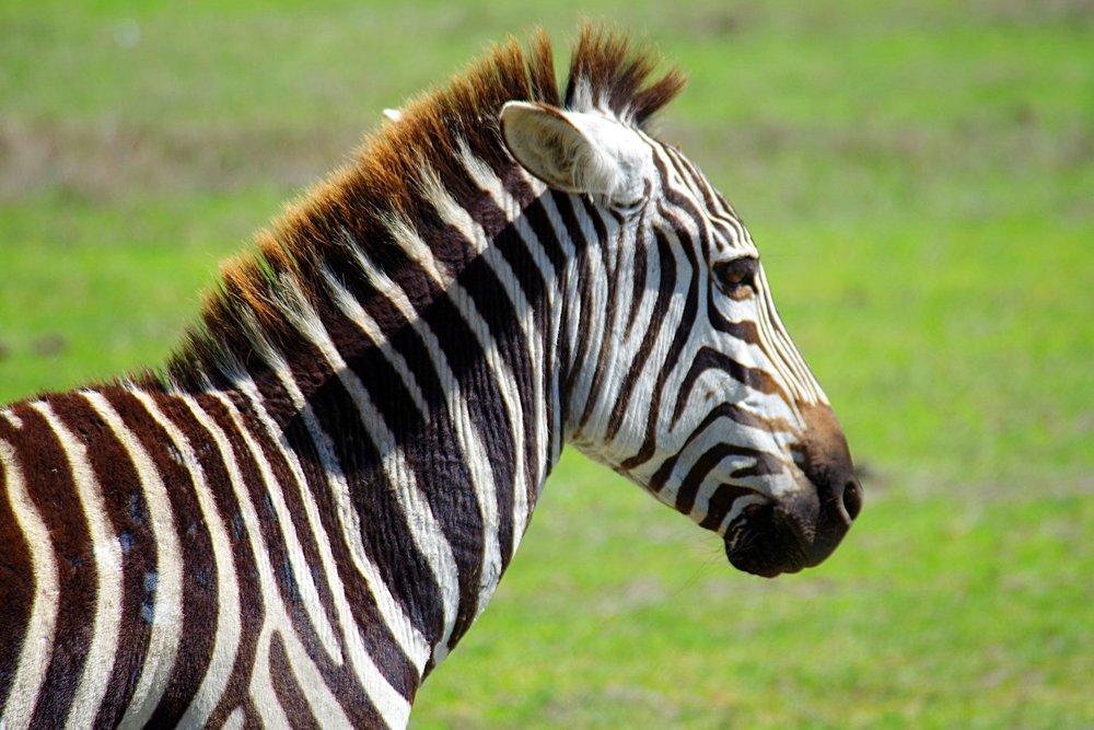 Ngorongoro Zebra.jpg