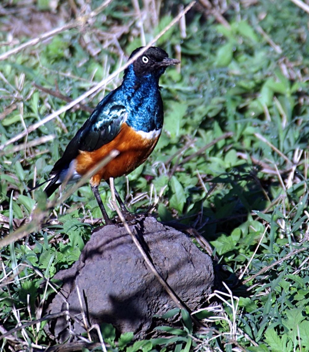 Ngorongoro splendid starling.jpg