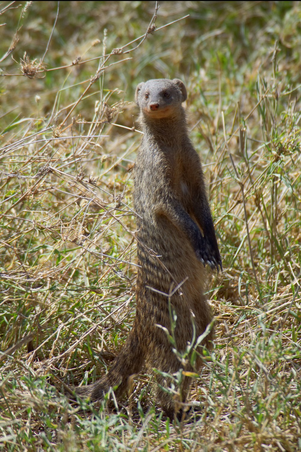 Serengeti banded mongoose.jpg