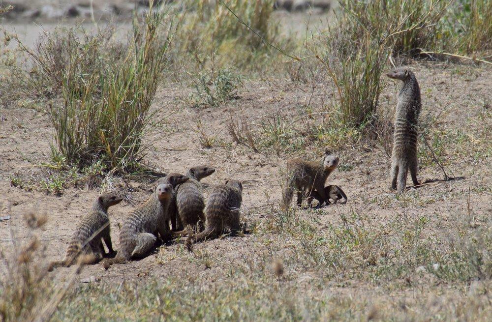 Serengeti banded mongoose lookout.jpg