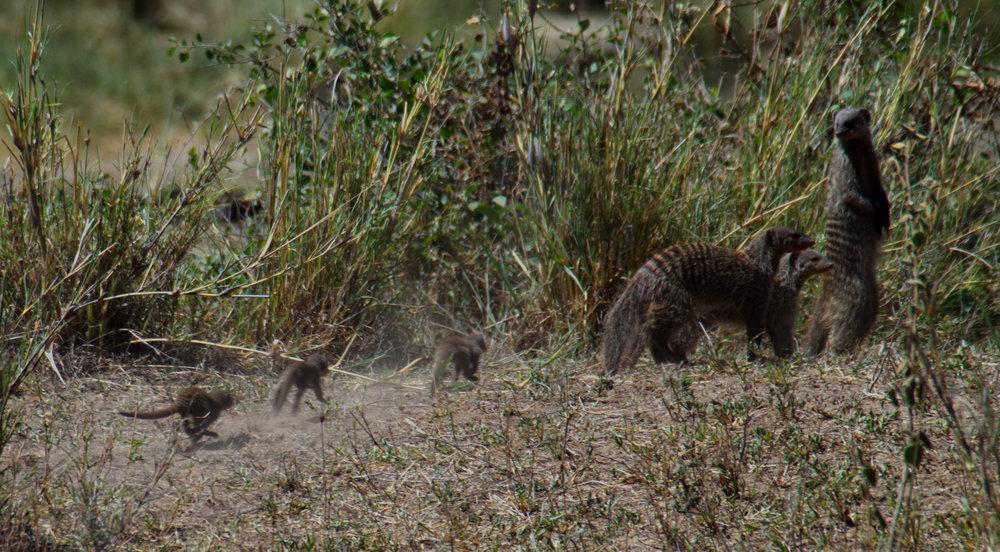 Serengeti banded mongoose chase.jpg