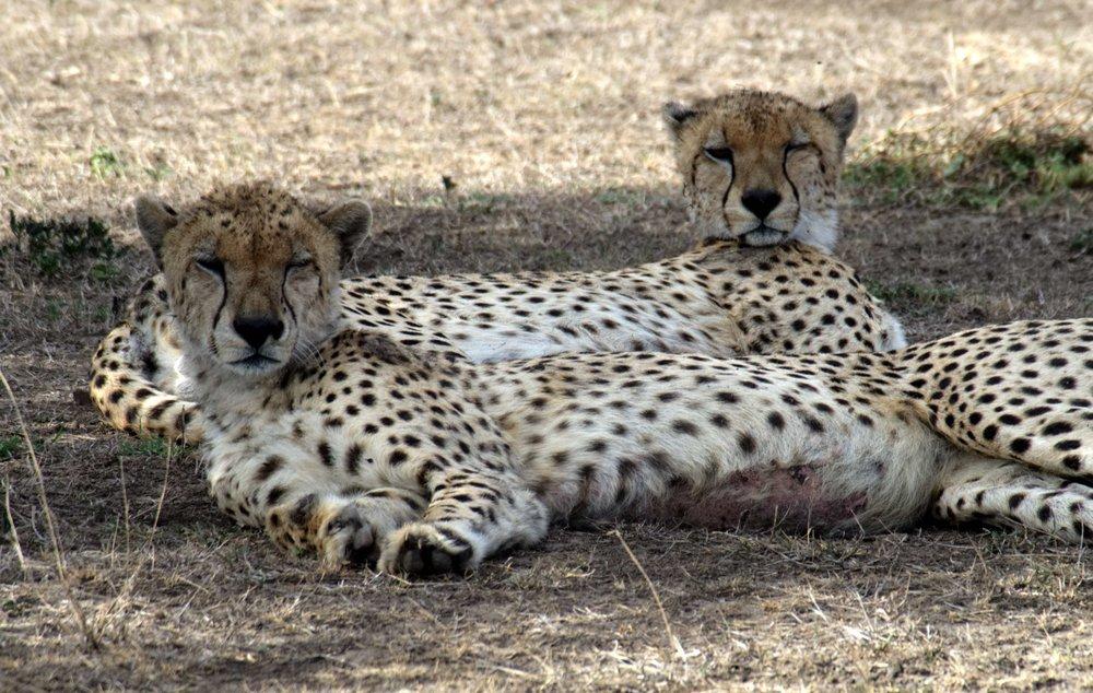 Serengeti cheetahs drowsy.jpg