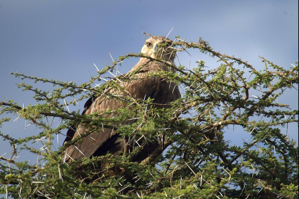 Serengeti eagle.jpg