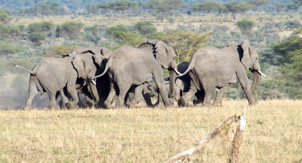 Serengeti elephant herd.jpg