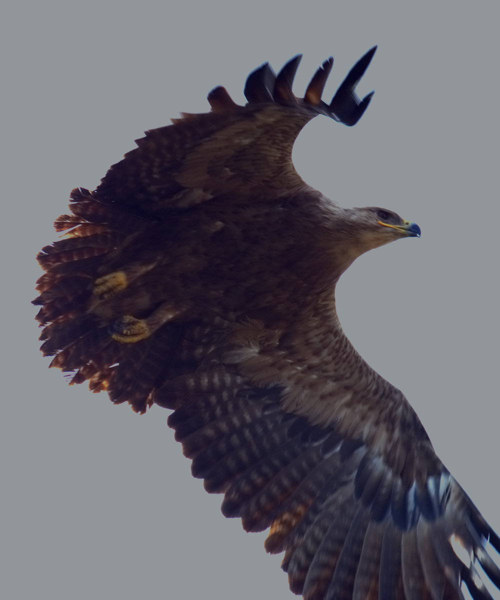 Serengeti eagle aloft.jpg