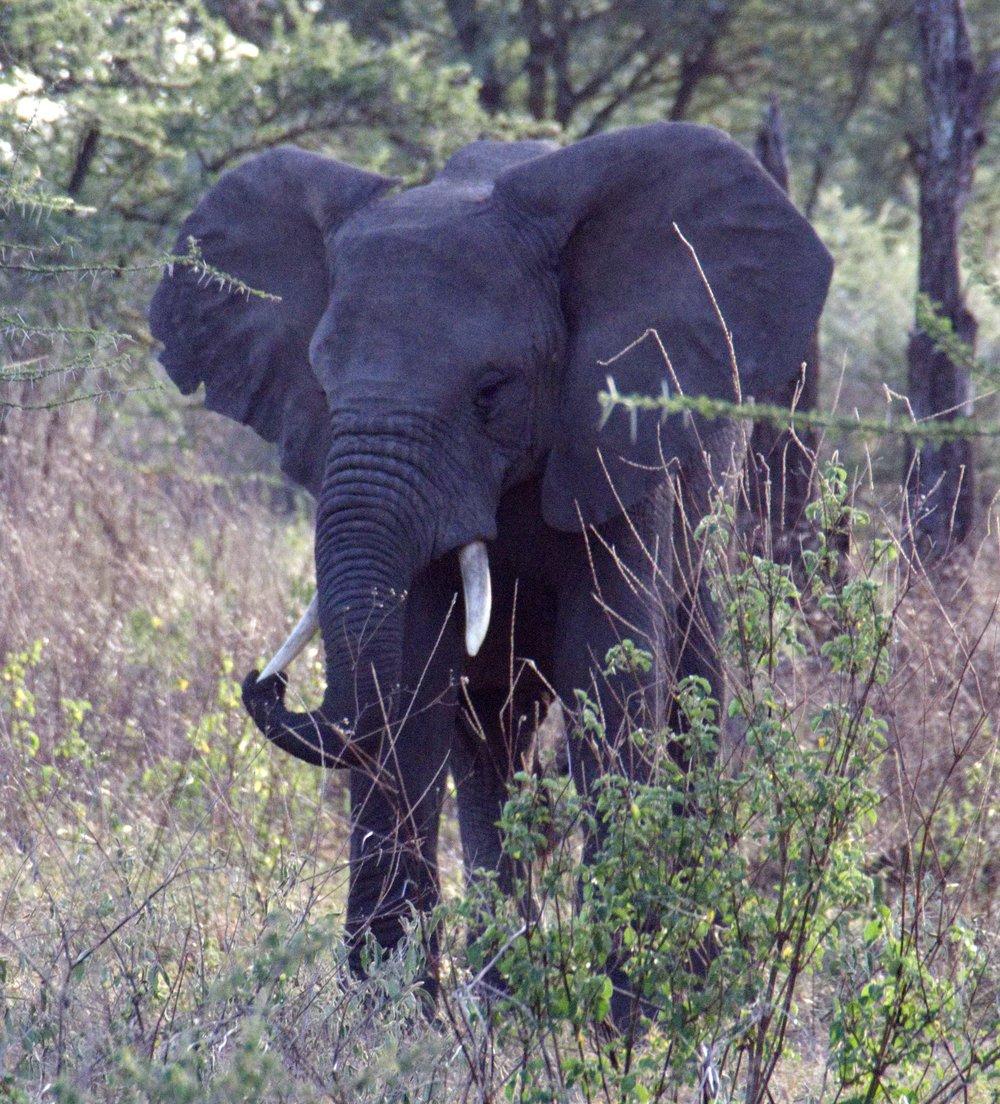 Serengeti elephant tusk.jpg