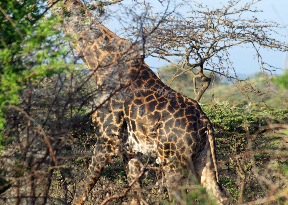 Serengeti giraffe camo.jpg