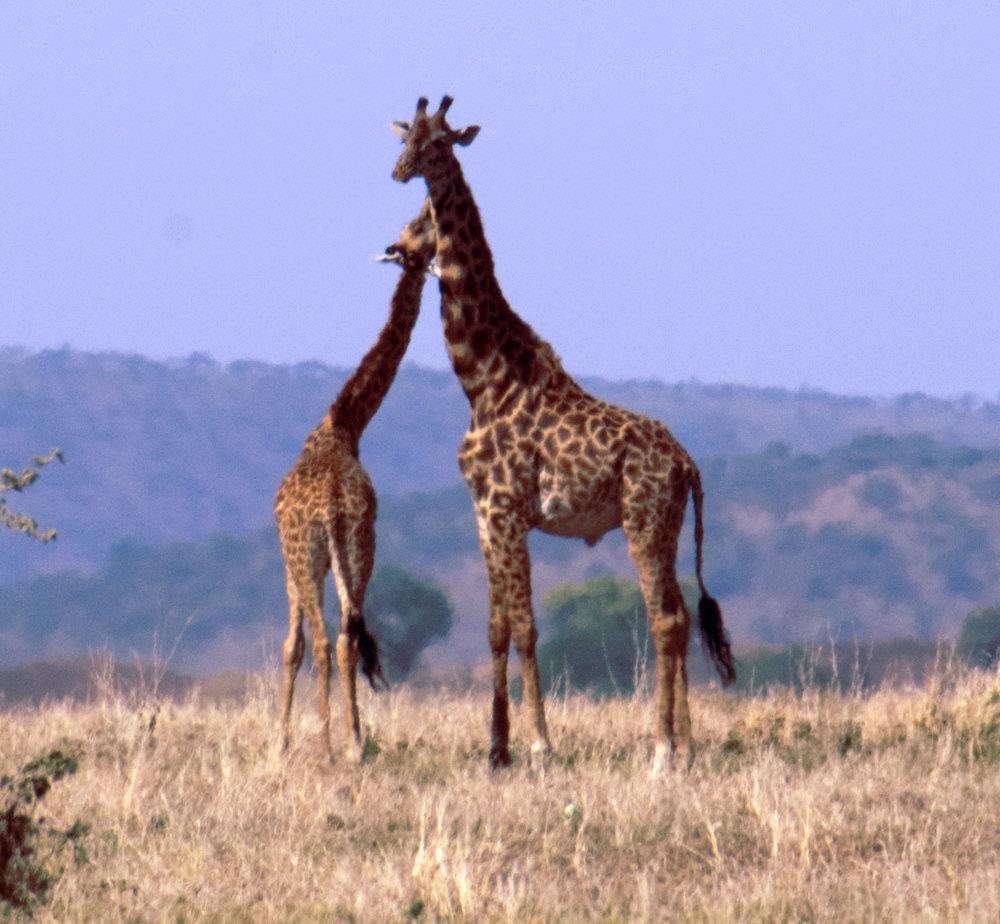 Serengeti giraffe practice 1.jpg