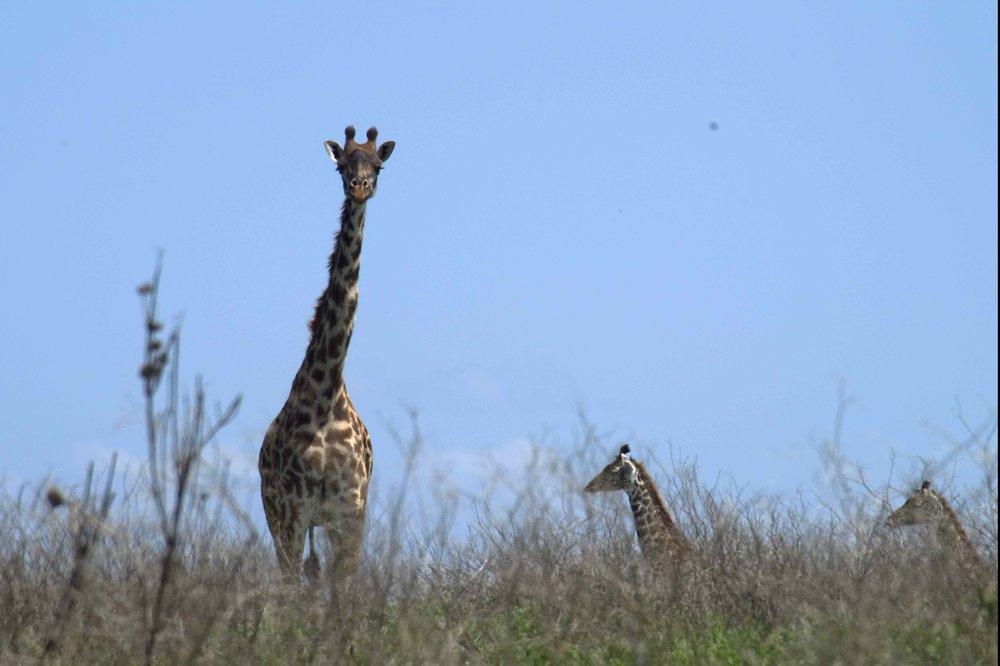 Serengeti giraffes.jpg