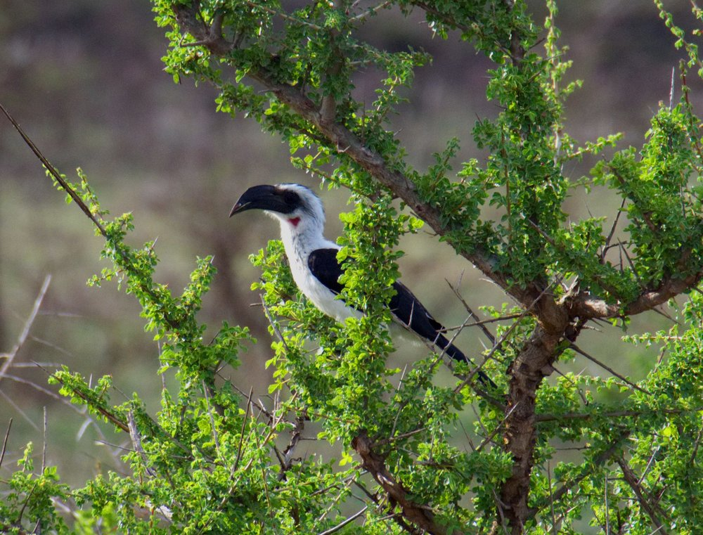 Serengeti hornbill.jpg