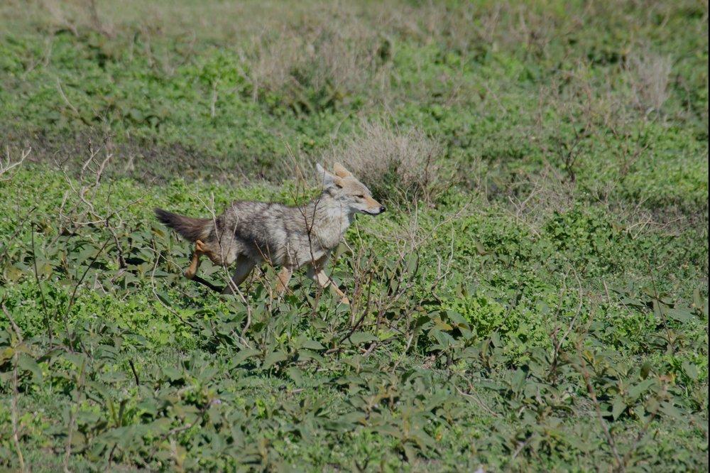 Serengeti jackal.jpg