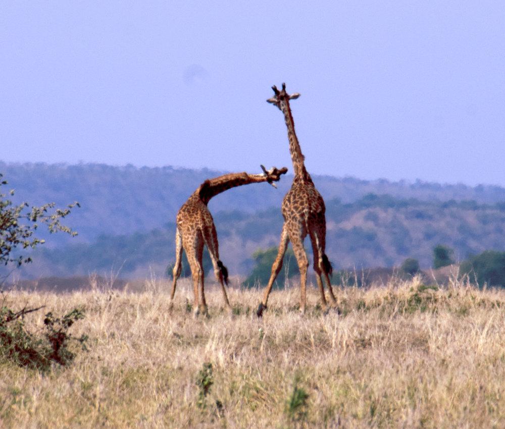 Serengeti giraffe practice 2.jpg