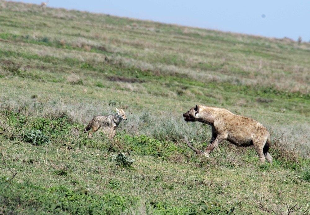 Serengeti jackal v hyena.jpg