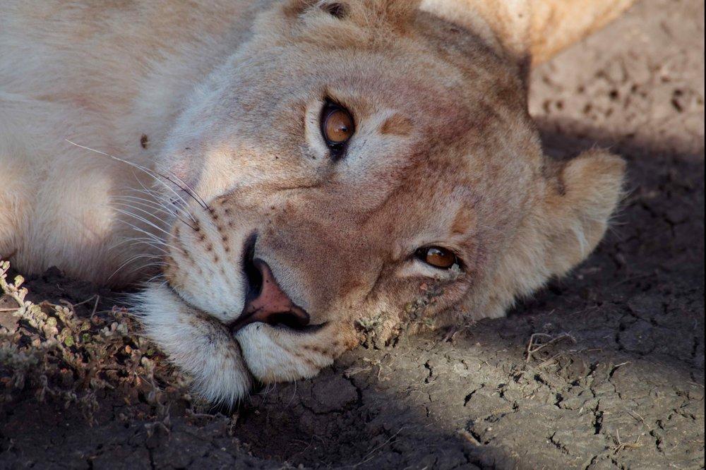 Serengeti lazy lioness.jpg