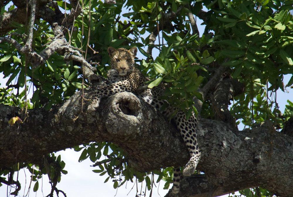 Serengeti leopard.jpg