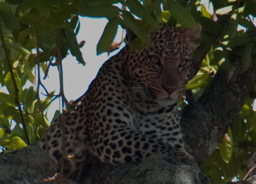 Serengeti leopard closeup4.jpg
