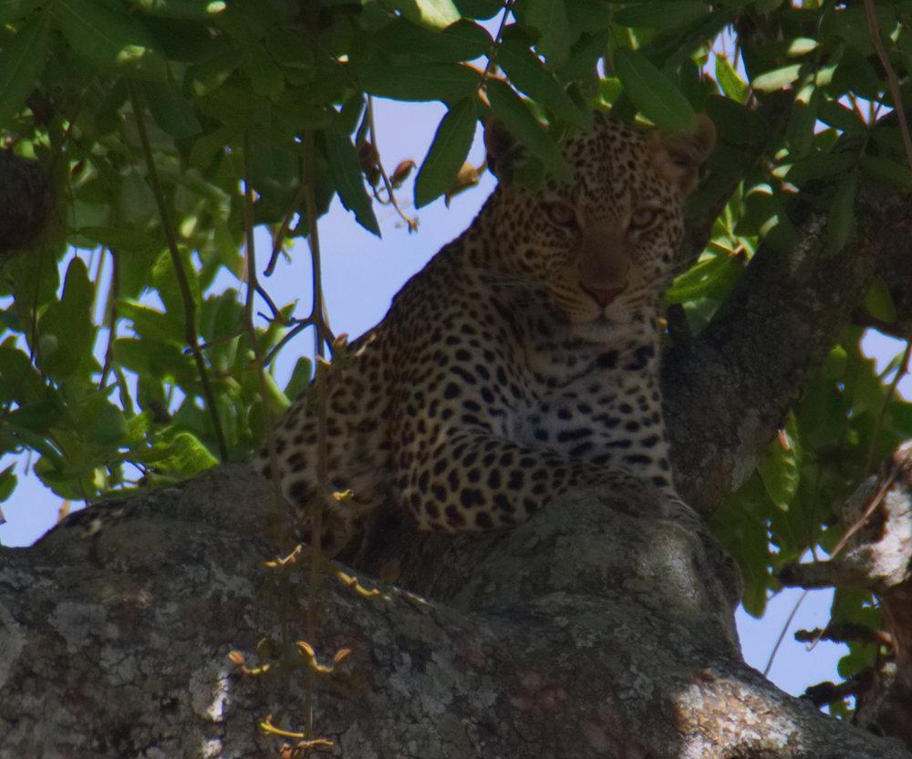 Serengeti leopard closeup3.jpg