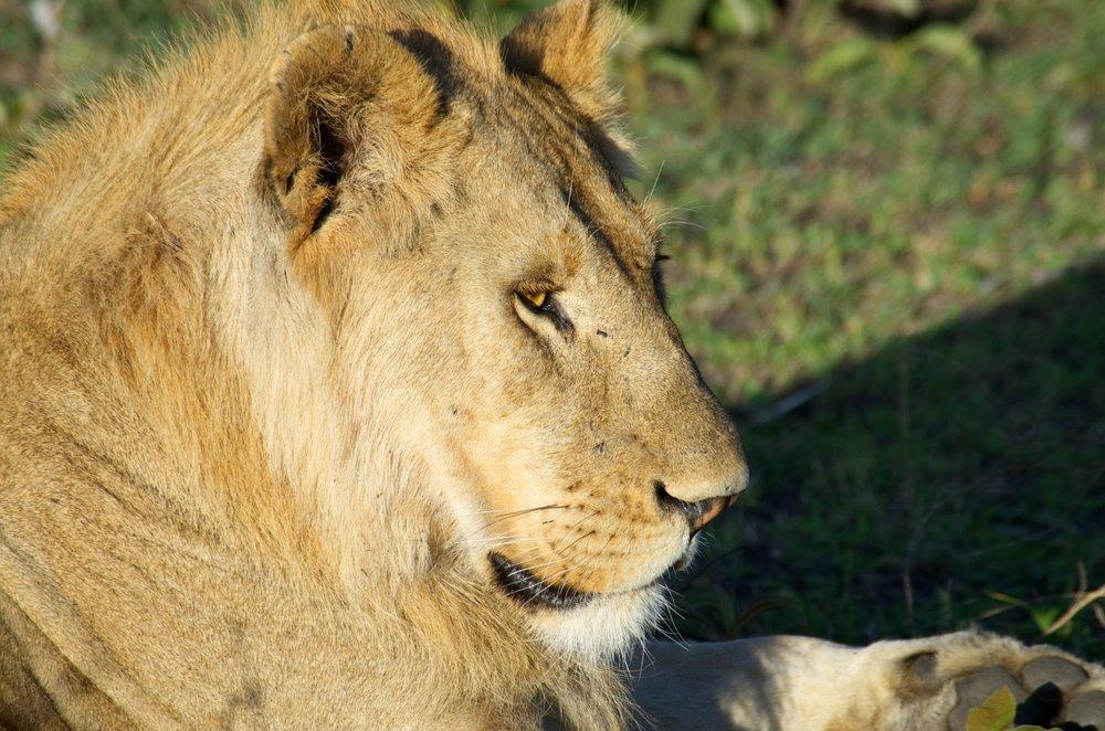 Serengeti lion closeup2.jpg