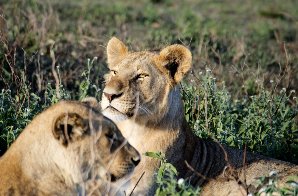 Serengeti lion pride.jpg