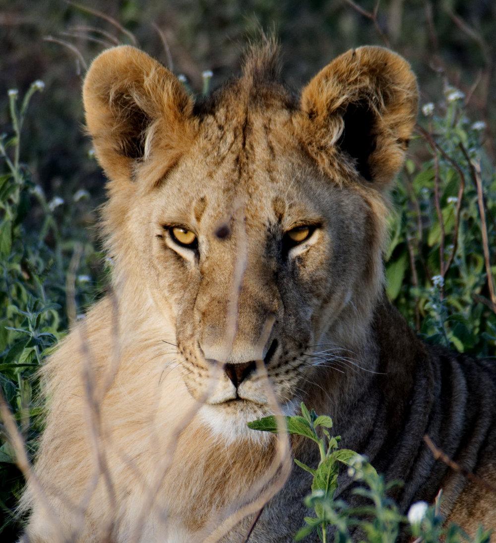 Serengeti lion stare 2.jpg