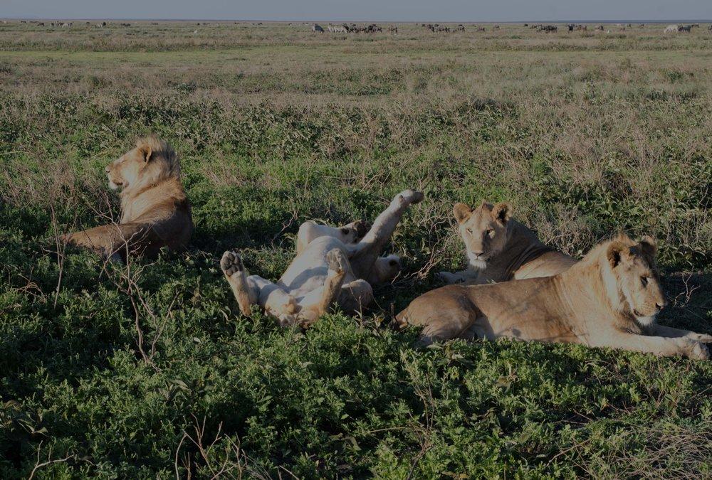 Serengeti lion stretch.jpg