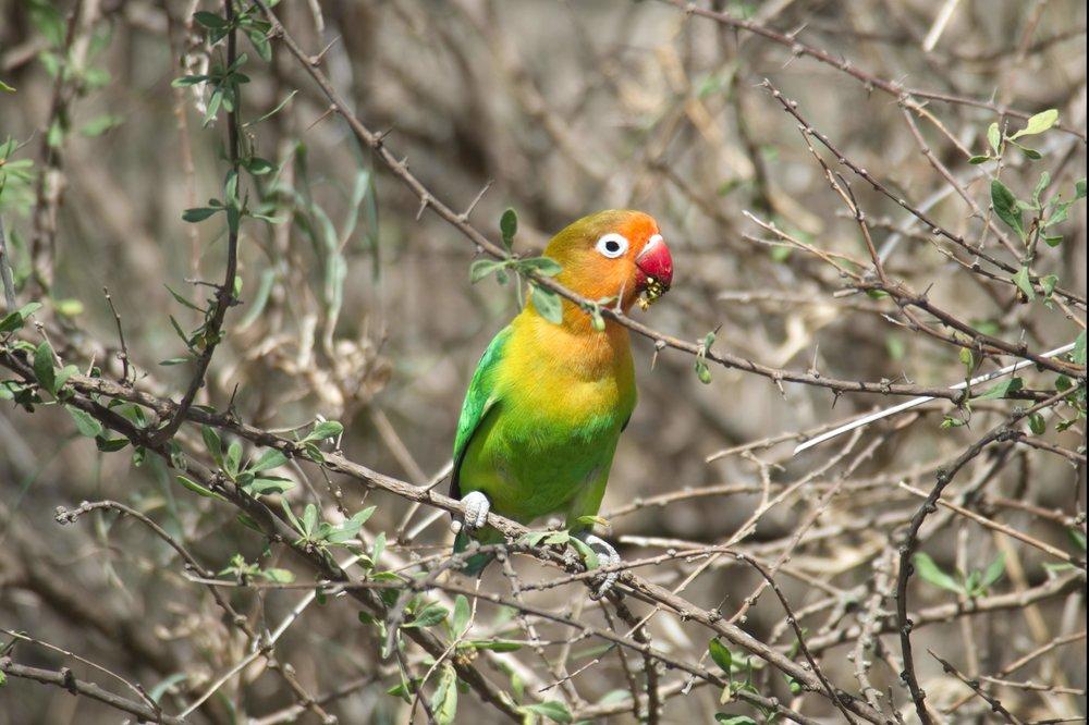 Serengeti lovebird.jpg