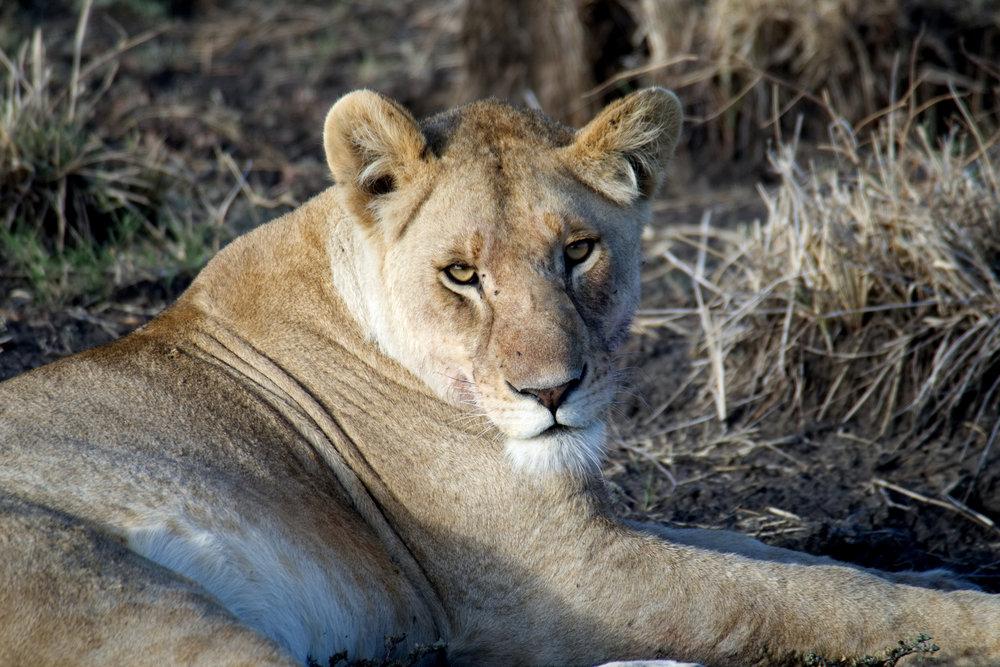 Serengeti lion stare.jpg