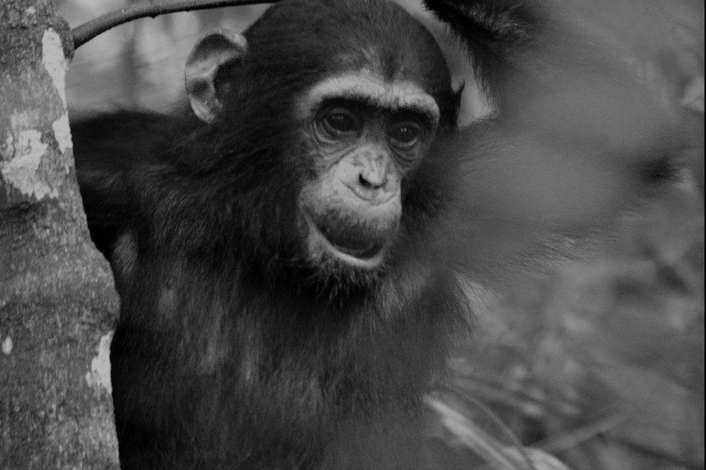 Mahale chimp.jpg