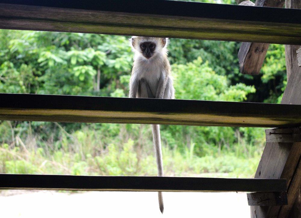 Mahale vervet monkey.jpg