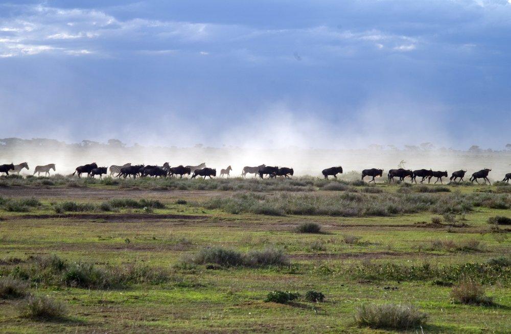 Serengeti single file.jpg