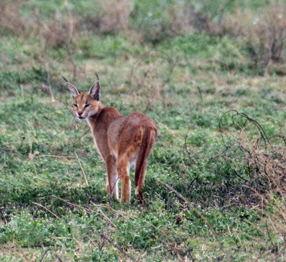 Serengeti caracal.jpg