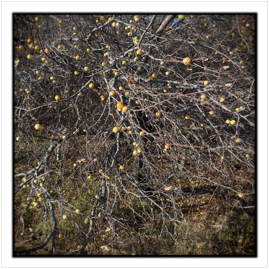 late autumn apples ~ Bellmont Center, NY (click to embiggen)